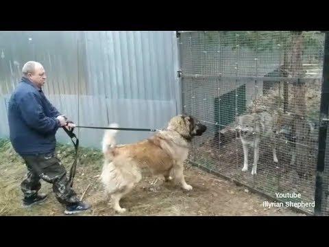 Caucasian Ovcharka vs Wolf test