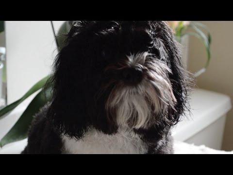 Aria's Bath Time - Havanese Dog   Erica Joaquin