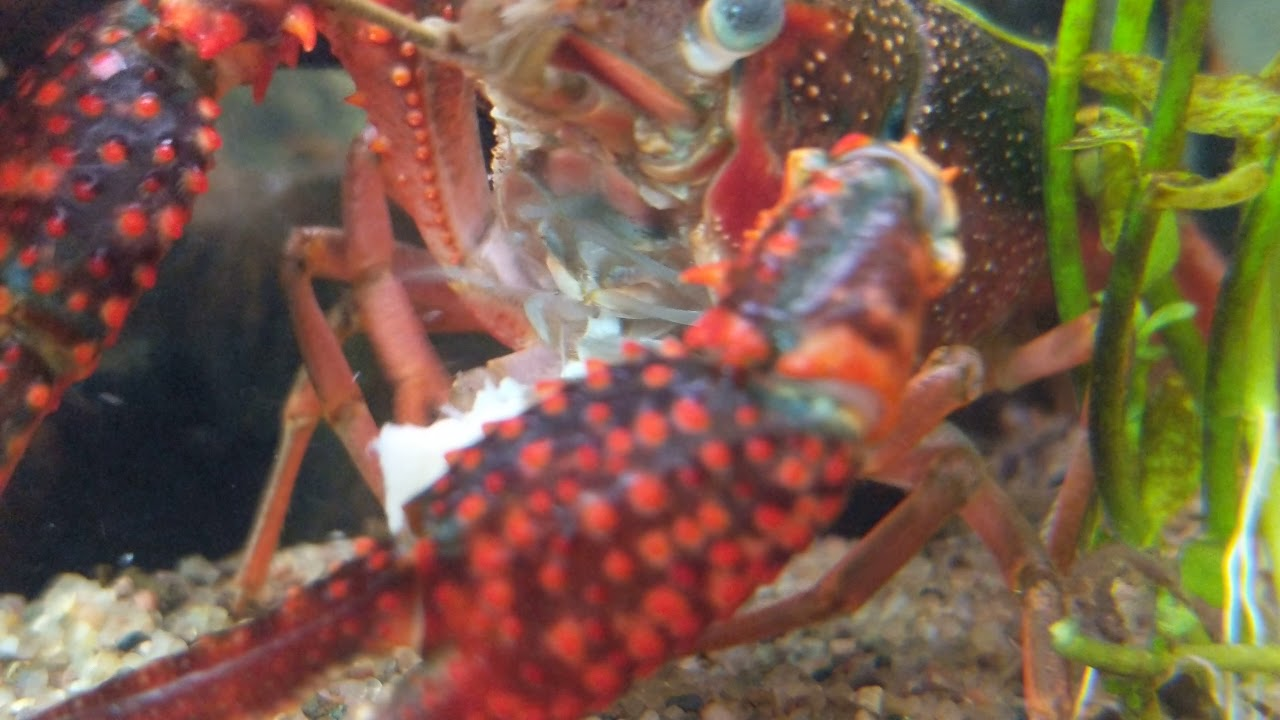 My crayfish eating chicken