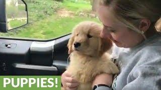 Golden Retriever's first ever car ride