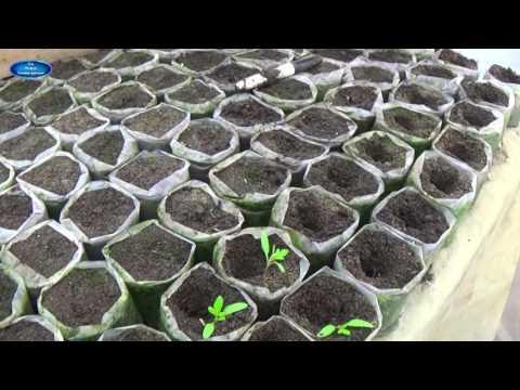 РАССАДА ТОМАТОВ. ОЧЕНЬ ВАЖНО-КАК ПРАВИЛЬНО ПРОВЕСТИ ПИКИРОВАНИЕ В СТАКАНЫ.   пикирование   выращивание   вырастить   томатов   рассады   рассаду   помидор   томаты   стакан   как