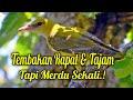 Burung Aneh Dan Langka Masteran Paling Di Cari  Mp3 - Mp4 Download