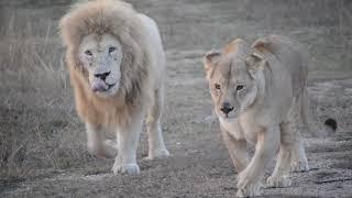 РЕДКОЕ ЯВЛЕНИЕ !Как львы создают прайды !