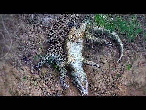 Best Hunting And Fighting Collection Of The Jaguar.