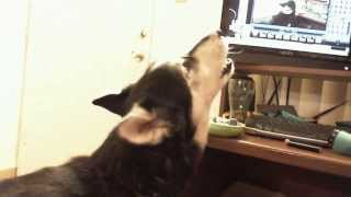 Luna The Siberian Husky/wolf Mix Howling!