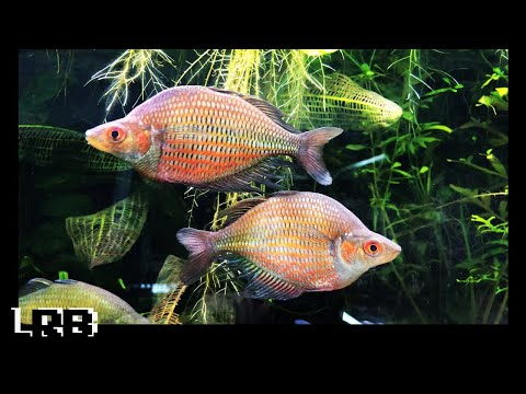 Gary Lange's Amazing Rainbow Fish Collection And Fish Room Tour