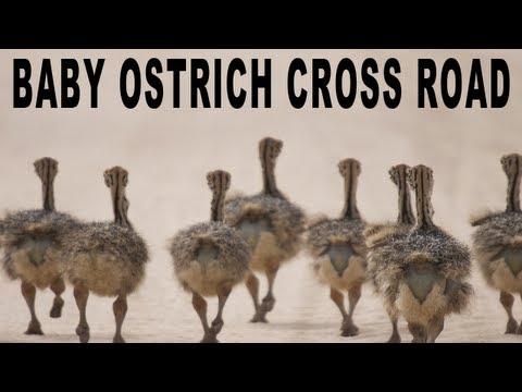 BABY OSTRICH CROSS ROAD