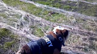 English Bulldog Security Dog