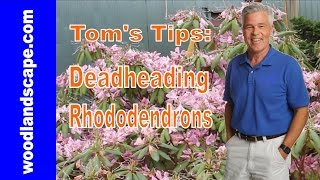 How To: Deadhead Rhododendrons, Tom's Tips