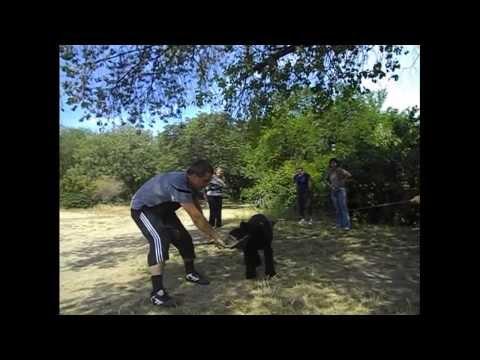 Giant Schnauzer. Workout young dogs. Roman-Kosh Mangup