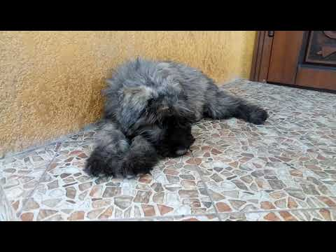 Bouvier male, available. dob 07.04.2018.