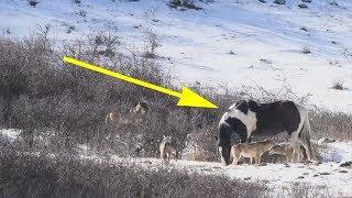 Лошадь встретила шесть диких волков и сделала то, что заставило вскрикнуть фотографа