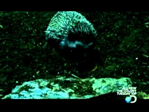 Hedgehog Clip: Speed of Life - Central African Killers