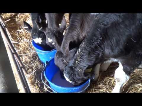 Bucket feeding milk to calves