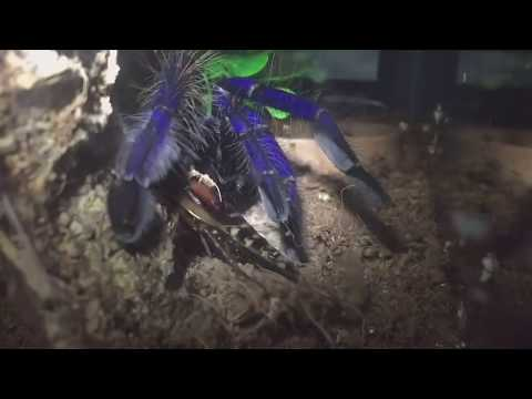 Lampropelma Violaceopes, Female Singapore Blue Tarantula, First Feed After Moult.
