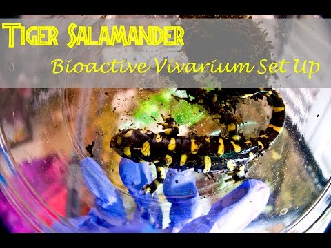 Tiger Salamander Bioactive Vivarium Set Up