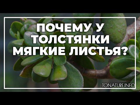 Почему у толстянки мягкие листья?   toNature.Info