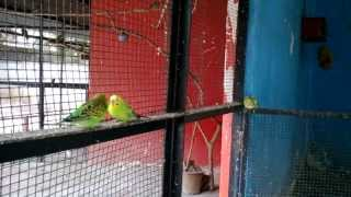 Cute Love Birds In Romantic Mood in Jijamata Udyan Byculla Zoo India 2014