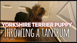 Yorkshire Terrier throwing a tantrum
