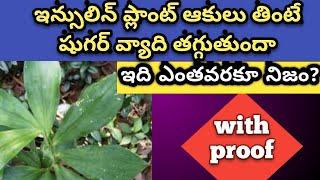 షుగర్ ఉన్న వారు ప్రతి రోజు తినవలసిన ఆకు/ insulin plant 🌿/with proof telugu