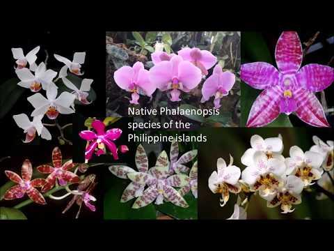 Native phalaenopsis species of the Philippines