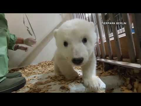 A polar bear cub at the Berlin Zoo had its very first check-up.