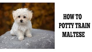 How To Easily Potty Train Maltese