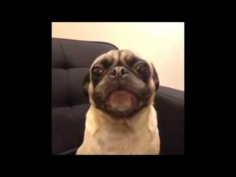 pug says i love you cute pug dog says i love you i ruv you vine by shellie 7296