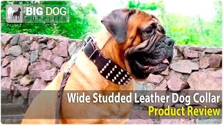 Bullmastiff, Rottweiler And Pit Bull Terrier And Other Dogs Wearing Extra Wide Studded Dog Collar