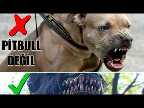 En Sağlam Isırık Hangi Köpeğe Ait? Çenesi En Güçlü 12 Köpek Irkı