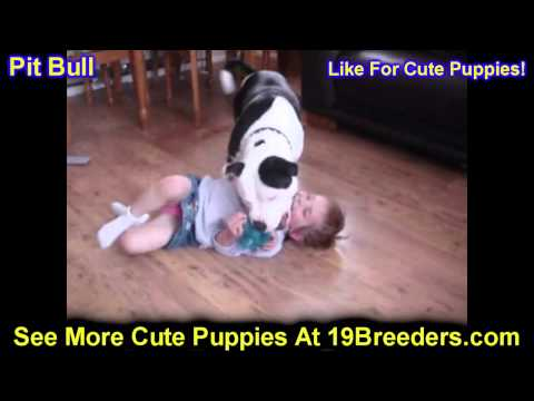 Pitbull, Puppies, For, Sale, In, Washington DC, Fort Totten, McLean Gardens, Wesley Heights, Burleit