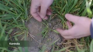 Quelex™ - już teraz zobacz jak działa najnowszy jesienny herbicyd zbożowy.