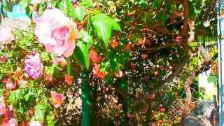Плетистые розы: зимостойкие сорта, цветущие всё лето