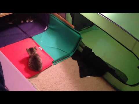 Spellbound Siberian Cats Kitten Cam