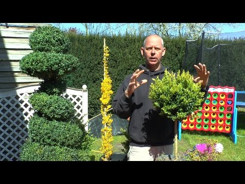 garten buchsbaum forsythie bonsai funnydog tv. Black Bedroom Furniture Sets. Home Design Ideas