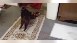 Приколы с животными Кошки против собак.