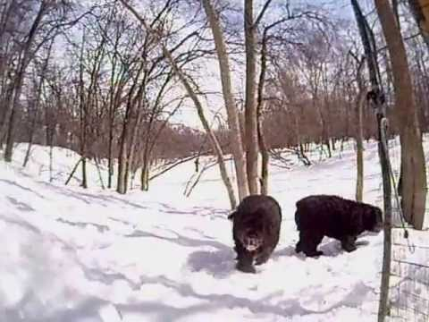 Bouvier Des Flandres Winter Fun