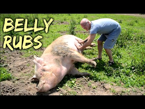 Belly Rubs  Rescued Pigs at SASHA Farm Animal Sanctuary
