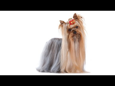 The Yorkshire Terrier - More than Just a Mane