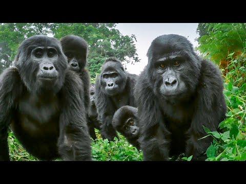 Alpha Silverback Gorilla