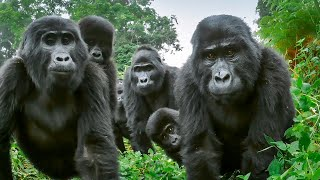 Alpha Silverback Gorilla Welcomes Spy Gorilla To The Family | BBC Earth