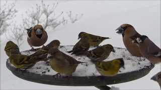 Pt ci na krm tku Birds feeding on Bird Table