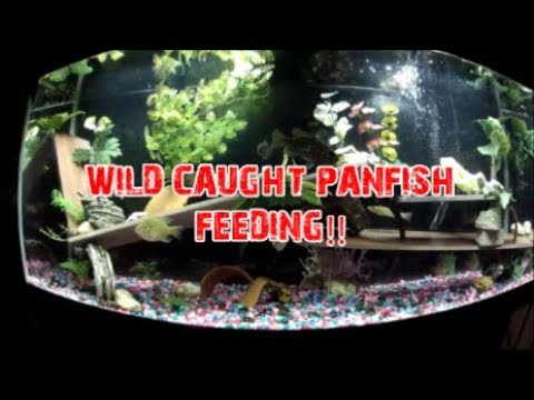 FEEDING MY WILD CAUGHT MULTI-SPECIES PANFISH/SUNFISH!!!