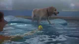 Labrador Retriever Beagle Mix Ajax Demonstrates Awesome Balance On The Water In The Swimming Pool