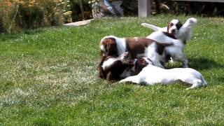 Field English Springer Spaniel Puppies @ Hellfiregundogs.com