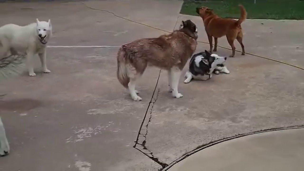 Siberian Huskies Alaskan Malamute Hound Dog Mix Terrier Sing Howl