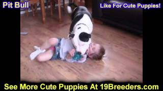 Pitbull, Puppies, For, Sale, In, Rio Rancho, New Mexico, County, Nm, Sandoval, San Juan, Mckinley, L