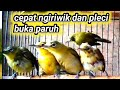 Suara Terapi Pleci Ombyokan Cepat Ngiriwik Dan Buka Paruh  Mp3 - Mp4 Download