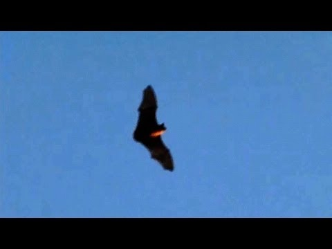 slow motion bats flying at dusk 300fps casio ex f1 v13221 youtube