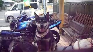 バイクの上で休憩中です、 * yt:crop=16:9 * skateboarding * dog * bul...